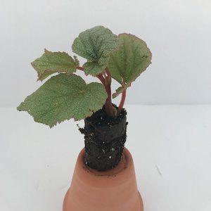 Begonia Pink Sinbad - Starter Plant